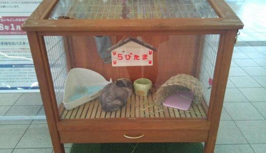 浦和美園駅「ラビたま駅長」職場復帰!! たまさぶろう自販機も登場しました。